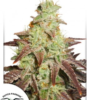 AutoNight Queen by Dutch Passion Seeds