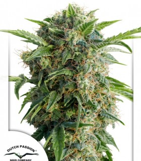 AutoDaiquiri Lime by Dutch Passion Seeds
