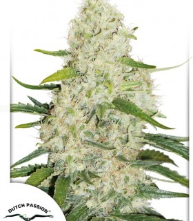 Think Big by Dutch Passion Seeds