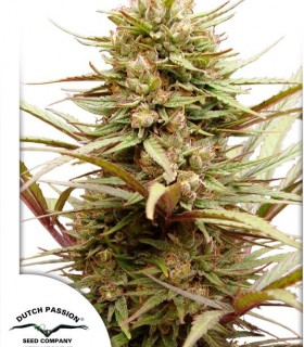 Compassion by Dutch Passion Seeds