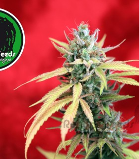Blackdance by Reggae Seeds