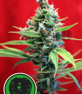 Sra. Amparo by Reggae Seeds