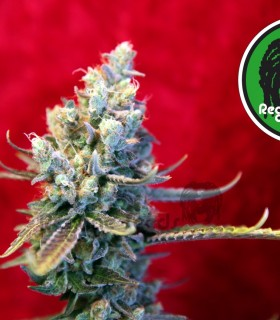 Revolution by Reggae Seeds