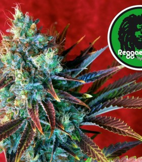 Kalijah by Reggae Seeds
