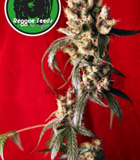 Roots by Reggae Seeds