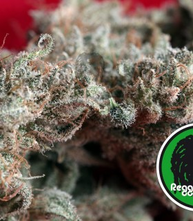 O' Haze Red by Reggae Seeds