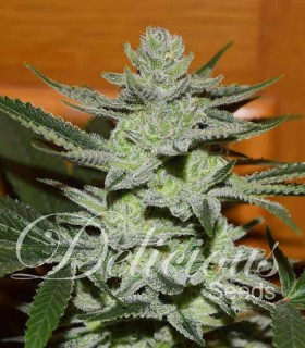 Desconocida Kush by Delicious Seeds