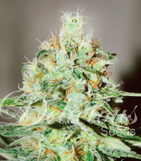 Jägg Kush by Delicious Seeds