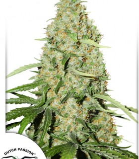 Think Fast by Dutch Passion Seeds