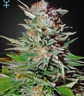 Super Lemon Haze Autoflowering CBD by Greenhouse Seeds