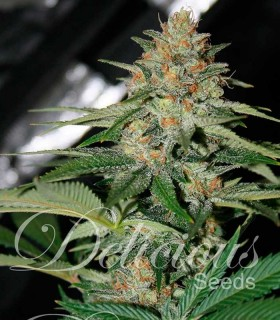 Delicious Candy Auto (Automatic LINE) by Delicious Seeds