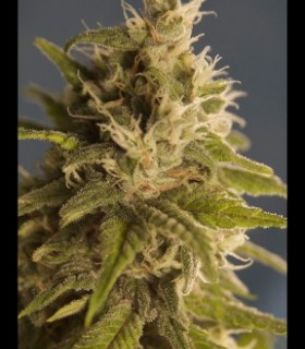 GG 1 by House of the Great Gardener