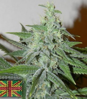 Secret Recipe by Connoisseur Genetics