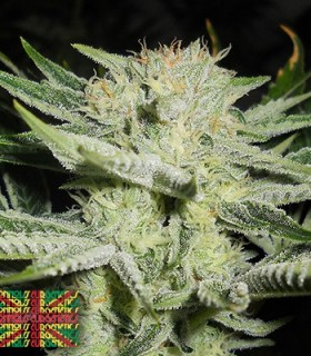 The White S1'S by Connoisseur Genetics