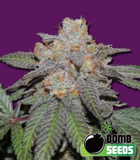 Cherry Bomb Auto by Bomb Seeds