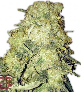 Goldmine by Heavyweight Seeds