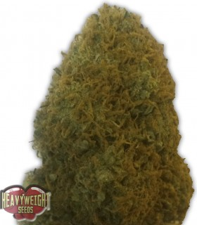 Champion by Heavyweight Seeds