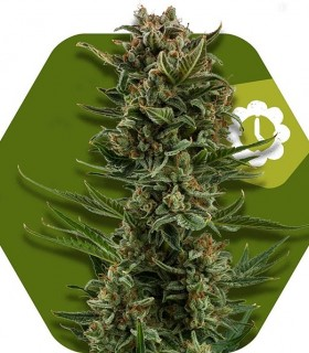 White Widow XL Automatic