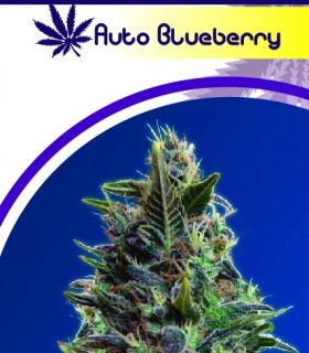 Auto Blueberrys by Moon Genetic