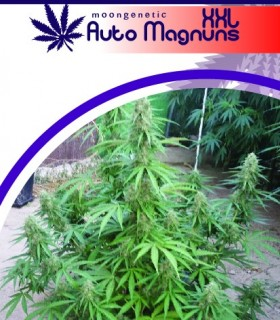 Auto Magnuns XXL by Moon Genetic