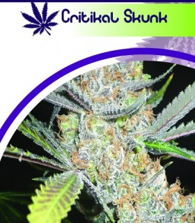 Critikal Skunk by Moon Genetic