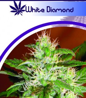 White Diamond by Moon Genetic