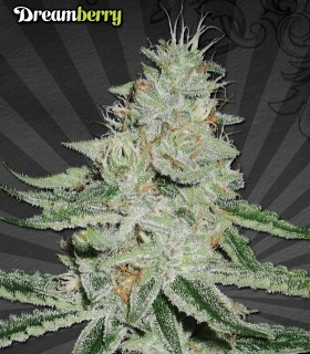 Dreamberry by Auto Seeds