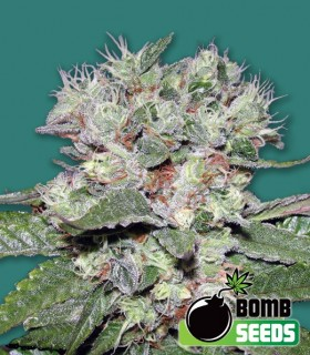 CBD Bomb by Bomb Seeds