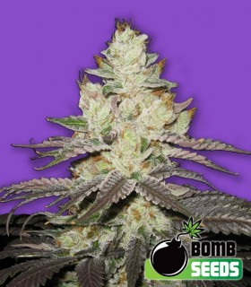Killer Purps by Bomb Seeds