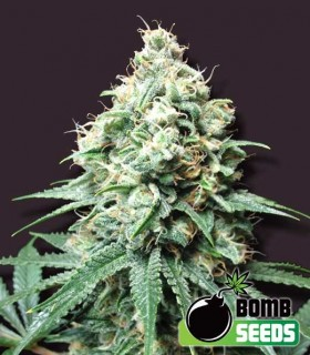 Kush Bomb by Bomb Seeds