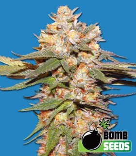 Big Bomb Auto by Bomb Seeds