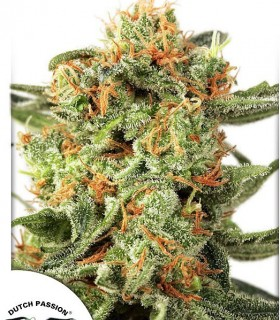 Orange Hill Special by Dutch Passion Seeds