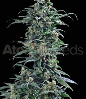 Atomika by Atomik Seeds