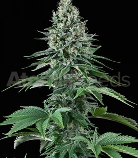 White Widow by Atomik Seeds