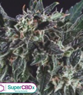 Amnesia Haze x SCBDX by SuperCBDx Seeds