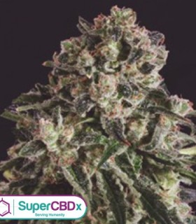 Black Critical x SCBDX by SuperCBDx Seeds