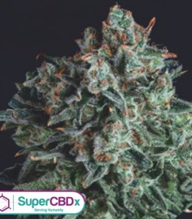 Blue Cheese x SCBDX by SuperCBDx Seeds