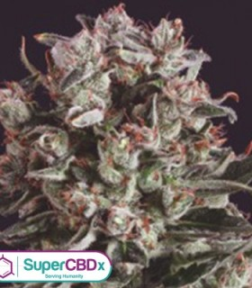 Critical Mass x SCBDX by SuperCBDx Seeds