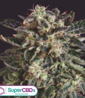 Jack Flash x SCBDX by SuperCBDx Seeds