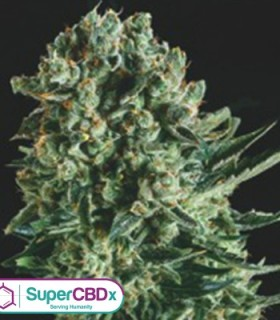 Queen Mother x SCBDX by SuperCBDx Seeds