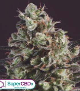Royal Purple Kush x SCBDX by SuperCBDx Seeds