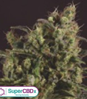 Sage n Sour x SCBDX by SuperCBDx Seeds