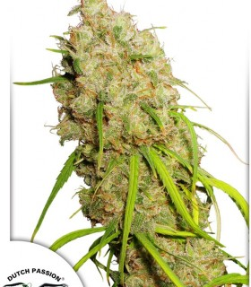 Desfrán by Dutch Passion Seeds
