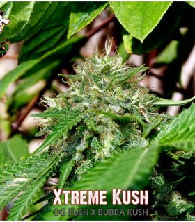 Xtreme Kush by Xtreme Seeds