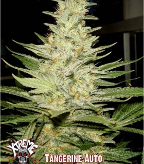 Tangerine Auto by Xtreme Seeds