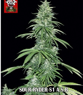Sour Ryder S1 A.S.B by Xtreme Seeds