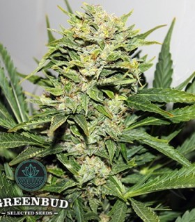 Blackout Express Auto by Greenbud Seeds
