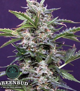 Budmaker Auto by Greenbud Seeds