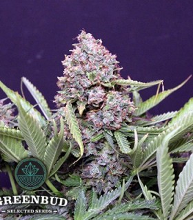 Polar Express Auto by Greenbud Seeds