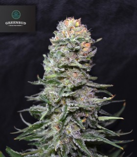Black in Black by Greenbud Seeds